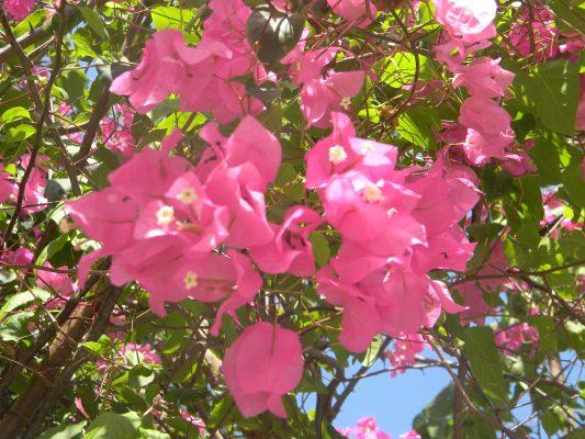 Nature_Fleurs_Tourisme_Environnement_Haiti_Sud_Port_Salut